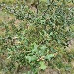 Quercus coccifera Hoja
