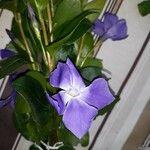 Vinca major Flower