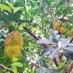 Artocarpus heterophyllus Fruit