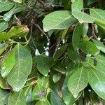 Elaeodendron
