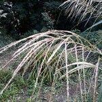 Miscanthus sinensis Leaf
