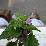 Lamium purpureum Fleur
