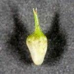 Carex frankii