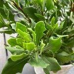 Osteospermum ecklonis Leaf