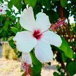 Hibiscus genevii Blomma