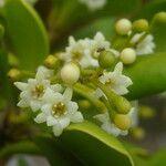 Jacquinia armillaris