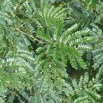 Archidendropsis granulosa