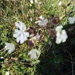Silene latifolia 花