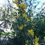 Cytisus lanigerus