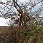 Acacia thomasii