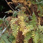 Gonospermum canariense