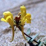 Linaria thymifolia