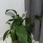 Spathiphyllum wallisii Leht