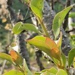 Agelanthus oehleri
