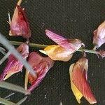 Crotalaria brevidens