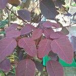 Euphorbia cotinifolia Leaf