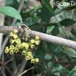Afrocanthium mundianum