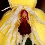 Bulbophyllum hexarhopalos
