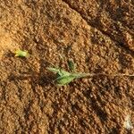 Emilia discifolia Other
