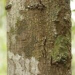 Thyrsodium guianense