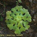 Aeonium subplanum