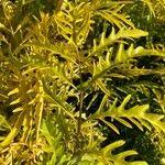 Polyscias fruticosa Leaf