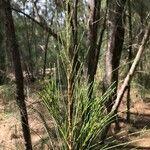Casuarina equisetifolia Leaf