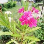 Nerium oleander Fiore
