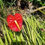 Anthurium andraeanum Cvet