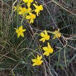 Narcissus assoanus