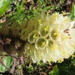 Campanula thyrsoides