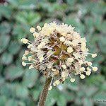 Acaena caesiglauca