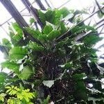 Epipremnum giganteum