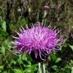 Cirsium latifolium