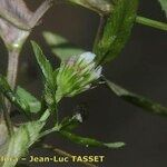 Trifolium strictum
