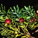 Podocarpus gnidioides