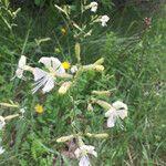 Silene italica Flower