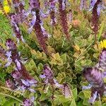 Plectranthus amboinicus Fleur