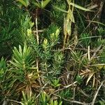 Podocarpus decumbens