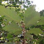 Quercus macranthera