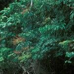 Allophylus cobbe