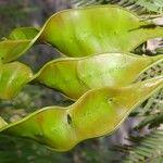 Bursera grandifolia