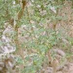 Mimosa delicatula