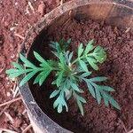 Grevillea robusta Leaf