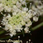 Angelica heterocarpa