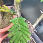 Acacia hindsii