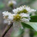 Cassipourea guianensis
