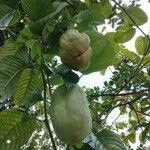 Passiflora quadrangularis Owoc