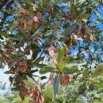 Terminalia sericea Leaf
