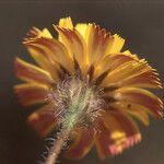 Picris asplenioides